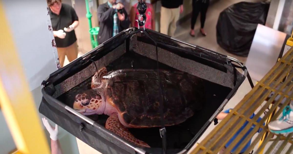 Ozlijeđenoj kornjači spasili oklop uz pomoć 3D printera