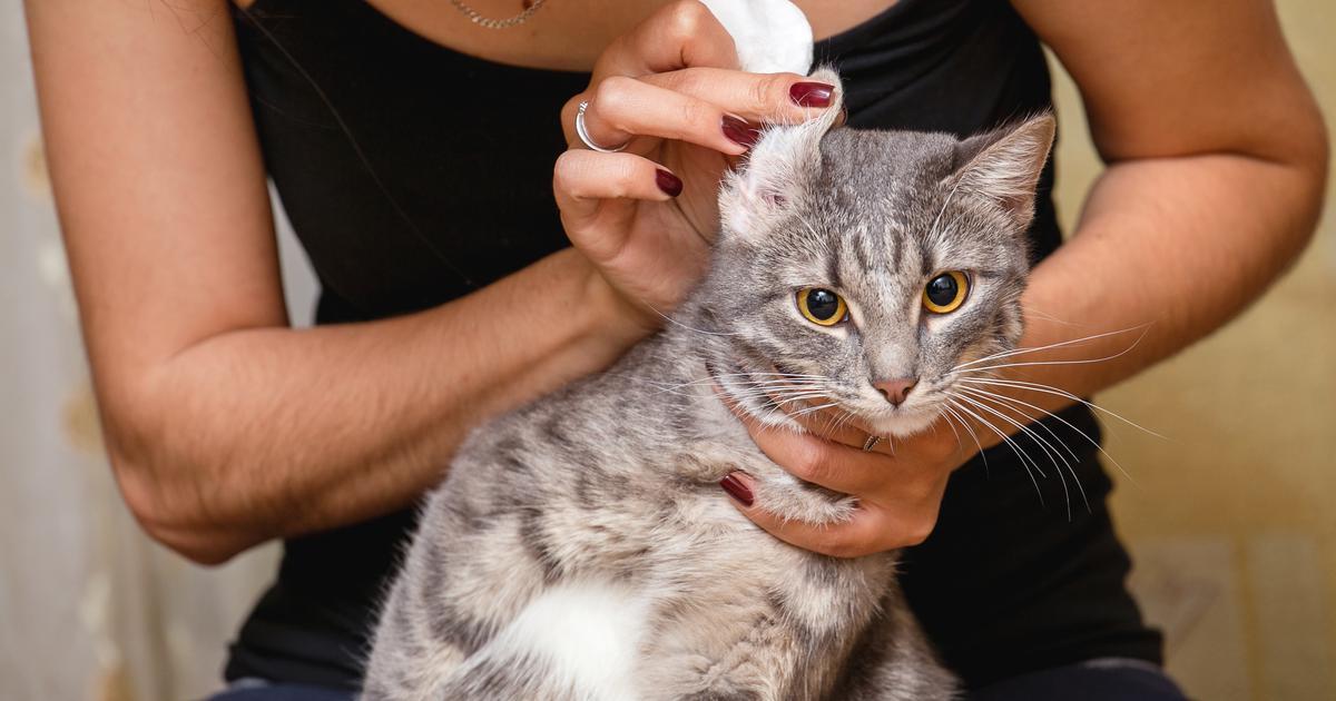 Veterinarka odgovara Bolesti ušiju kod pasa i mačaka: Kako ih prepoznati i liječiti?