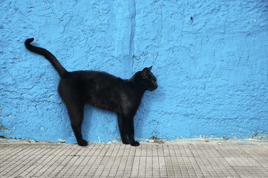 Najveća crna maca